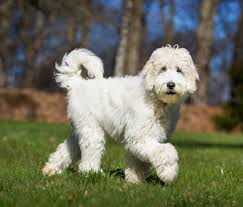 The Dish on Doodle Dogs: Setting the Record Straight on Allergies ...