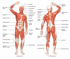 tag  muscle diagram human body detailed   human anatomy diagram    humananatomybody  middot  muscle chart human body with labels theta omaha   new client forms