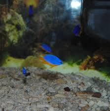 Vendita pesci per acquari como tom&jerry merone