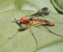Gnat Identification Chart Dipteran Definition Life Cycle Habitat Classification