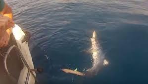ils pêchent un requin bleu au large de narbonne plage capture you