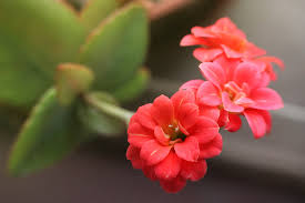 hd flower wallpapers high quality spring blossom kalanchoe windows beautiful flower wallpapers plant flowers red macro fl 3600x2400 wallpaper