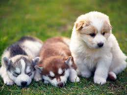 husky puppy wallpapers mobile