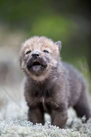 the cutest wolf on earth