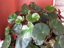 interesting leaves beefsteak nia