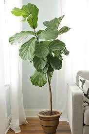 how to keep a fiddle leaf fig alive happy decor fix tree