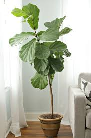 how to keep a fiddle leaf fig alive happy decor fix