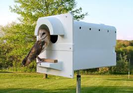 a barn owl enters one of mark browning s nesting boxes