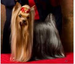 the yorkshire terrier is a small toy sized dog with dark eyes and erect v shaped ears their long glossy coat is fine and silky and falls straight down on