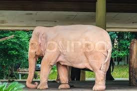 white elephant animal. Exellent Animal Stock Image Of U0027White Elephant Animal In Myanmar Yangon Burma Throughout White Elephant Animal R