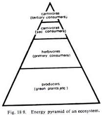most important types of ecological pyramids essay the base upon which the pyramid of energy is constructed is the quantity of organisms produced per unit time or in other words the rate at which food