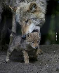 Image result for mom wolf carrying baby wolf