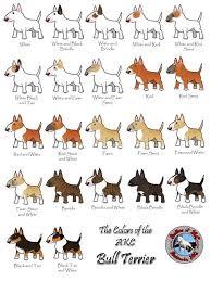 Staffy Colours Chart Bull Terrier Colors Animales Bull Terrier Puppy Bull