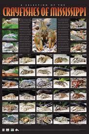 Crayfishes Of Mississippi Website Other Information