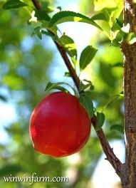 Plums Planting Growing And Harvesting Plums  The Old Farmeru0027s Plum Fruit Tree Varieties