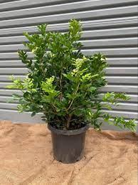 Murraya paniculata – Natural Green ...