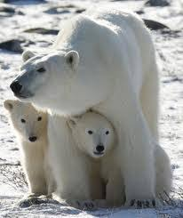 Αποτέλεσμα εικόνας για ζώα των πάγων νηπιαγωγείο