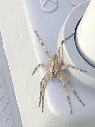 Spider Identification Chart Arkansas Arkansas Id Spiders