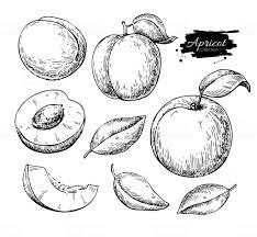 アプリコットのベクトルを描画します描かれたフルーツを手の部分を