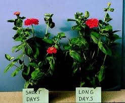 figure 3 some zinnias are not greatly affected by photoperiod