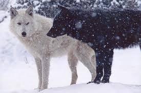 black wolf and white wolf love. Wonderful White Wolves Black White Intended Wolf And Love