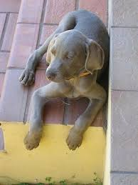 top down view of a weimaraner puppy that is laying on top of a brick step