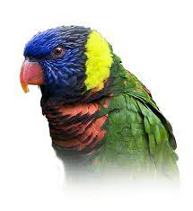 Lory Personality, Food & Care – Pet Birds by Lafeber Co.