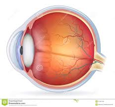 Order In Which Light Passes Through The Eye Quizlet Psychology Vision Diagram Quizlet