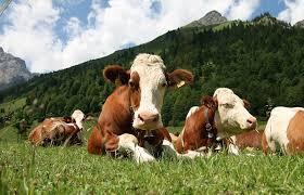 Калмыцкая порода коров Животноводство Разведение коров как бизнес