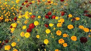 marigold flower information in hindi collect marigold  143 marigold flower information in hindi collect marigold seeds for next year