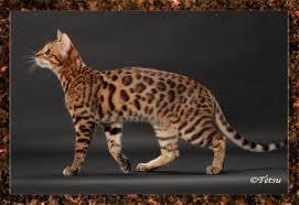 picture of bengal cat mystic fire exotics