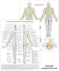 Dermatomes And Peripheral Nerves Chart
