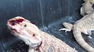 petco animals reptiles. Brilliant Reptiles Reptiles Left To Die At PetSmart Supplier Mill Inside Petco Animals 0