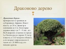 Презентация по географии на тему quot Эндемики и реликты  слайда 21 Драконово дерево произрастает в тропиках и субтропиках Африки Имеет высоту