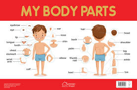 Buy My Body Parts Chart Early Learning Educational Chart