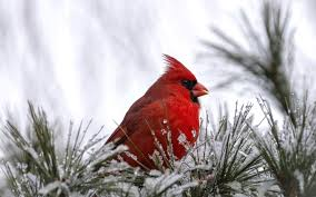 winter cardinal wallpaper.  Winter Red Cardinal Bird Wallpaper On Winter