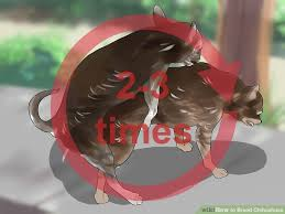 image led breed chihuahuas step 12