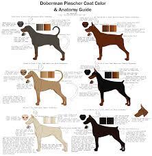 Doberman Ear Cropping Styles Chart Goldenacresdogs Com