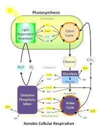 Venn Diagram Photosynthesis And Cellular Respiration Aerobic And Anaerobic Respiration Venn Diagram Chart Bluedasherco