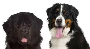 Newfie Puppy Growth Chart Bernese Mountain Dog Vs Newfoundland Which Giant Breed Is