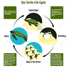 Sea Turtle Life Cycle Diagram With All Stages Including Laying