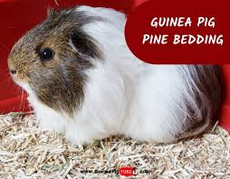 can guinea pigs use pine bedding