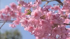 Bunga Sakura 8 Spot Melihat Bunga Sakura Unik Di Jepang Matcha Situs