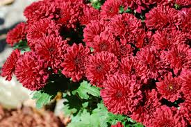 fall garden flowers. Design Inspiration: 10 Fall Flowers To Liven Up Your Garden This Upcoming Season (PHOTOS) | HuffPost