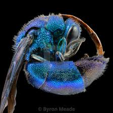 Blue Cuckoo Wasp - License, download or print for £24.80 | Photos ...