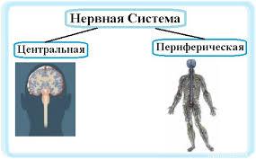 Центральная и периферическая нервная система Дистанционные уроки центральная и периферическая нервная система