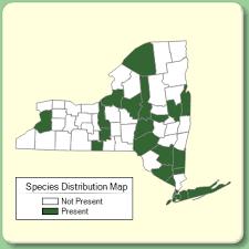 Ornithogalum umbellatum - Species Page - NYFA: New York Flora ...