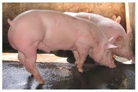 Pasantía Granja PorcinaPrecio Granja De Cerdos Engorde
