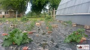 think having a weed free garden is just a dream use black plastic mulch