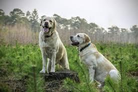 Labrador Feeding Guide With Chart Lovejoys Lovejoys